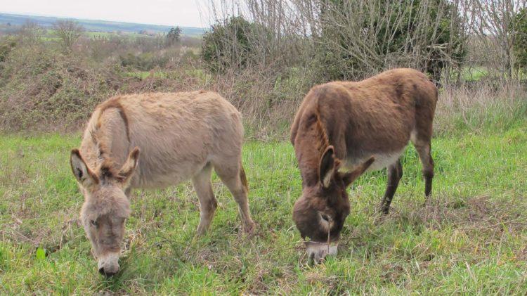 ânes du troupeau de l'âne qui vole Laguépie