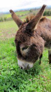 l'âne Archi de l'âne qui vole à Laguépie