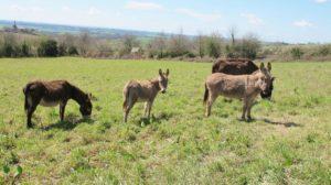 Troupeau d'ânes de l'âne qui vole à Laguépie