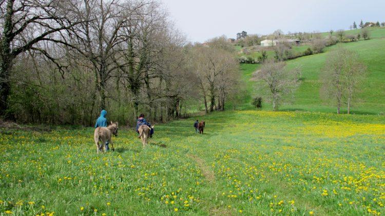 balade avec les 4 ânes dans le champ