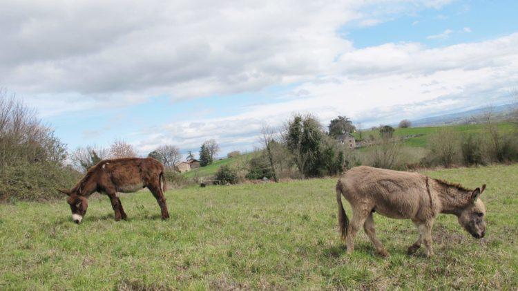 ânes dans le prés, l'âne qui vole Laguépie